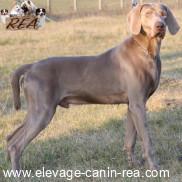 BRAQUE DE WEIMAR -  race de chien de l'Élevage Canin Réa - Sarthe - 72