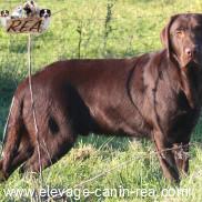 RETRIEVER DU LABRADOR -  race de chien de l'Élevage Canin Réa - Sarthe - 72