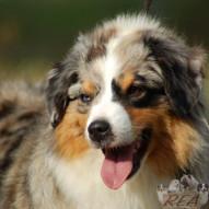 BERGER AMERICAIN MINIATURE -  race de chien de l'Élevage Canin Réa - Sarthe - 72