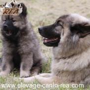 EURASIER -  race de chien de l'Élevage Canin Réa - Sarthe - 72
