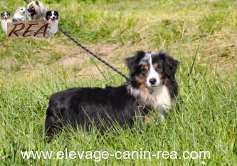 BERGER AMERICAIN MINIATURE - Femelle - Élevage Canin Réa - Sarthe 72