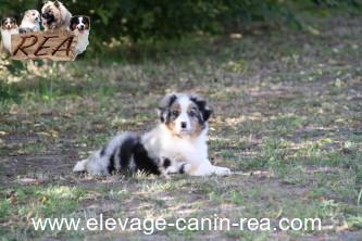 BERGER AUSTRALIEN - Femelle - Élevage Canin Réa - Sarthe 72
