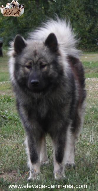 EURASIER - Femelle - Élevage Canin Réa - Sarthe 72