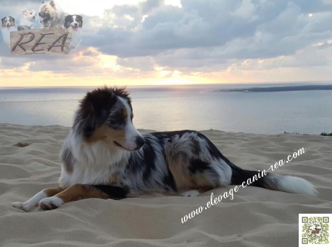BERGER AUSTRALIEN -  race de chien de l'Élevage Canin Réa - Sarthe - 72